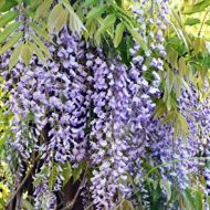 Wisteria floribunda 'Royal purple' (Glicynia kwiecista) - wisteria_royal_purple_k3[1][1]_(2).jpg